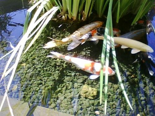 My koi pond