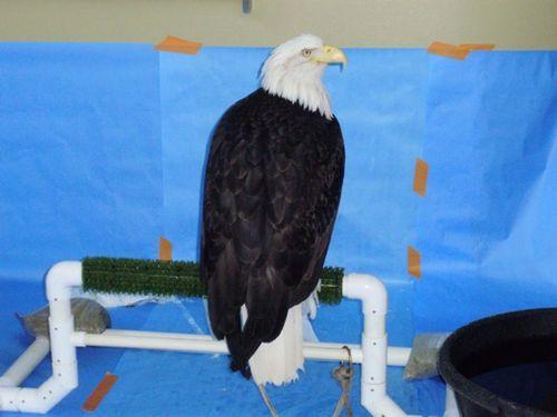 Amy bald eagle