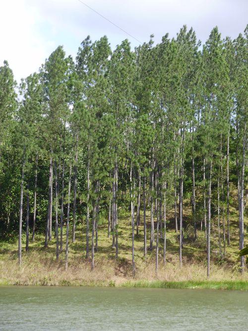 Cuban pine trees
