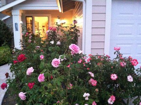 Luza's roses