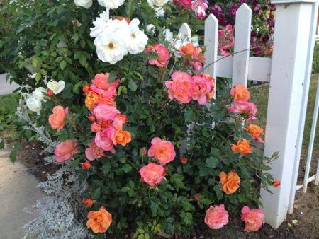 Disneyland roses