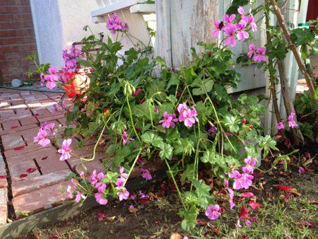 Purple climbing geraniums