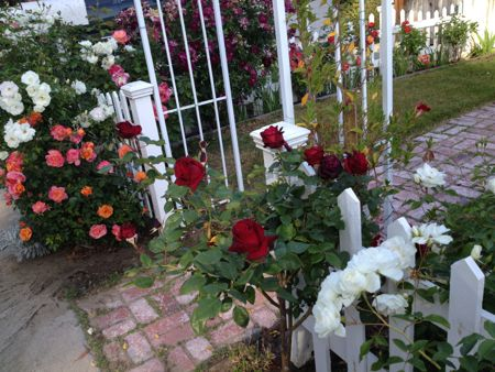 Roses & picket fence