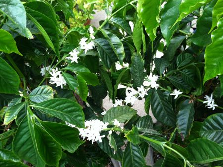 Coffee plants in bloom