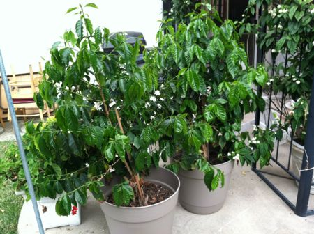 Growing coffee plants