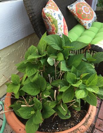 My-big-fat-cuban-family-garden-hydrangeas