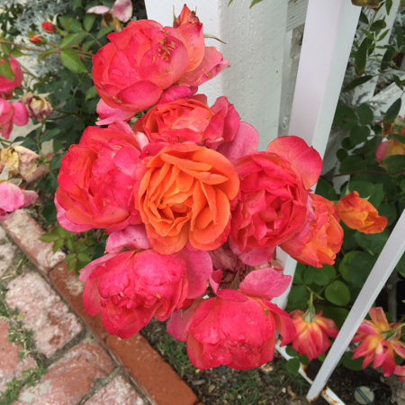 My-big-fat-cuban-family-garden-disney-roses