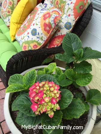 My-big-fat-cuban-family-garden-hydrangea-in-bloom
