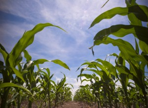 The Corn Ultimatum