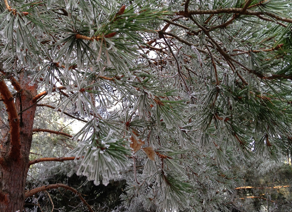 frosty-winter-pine-tree-branches