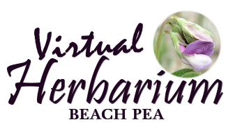 virtual herbarium beach pea graphic