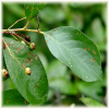 chokeberry leaves and fruit