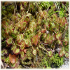 round-leaved sundew leaves