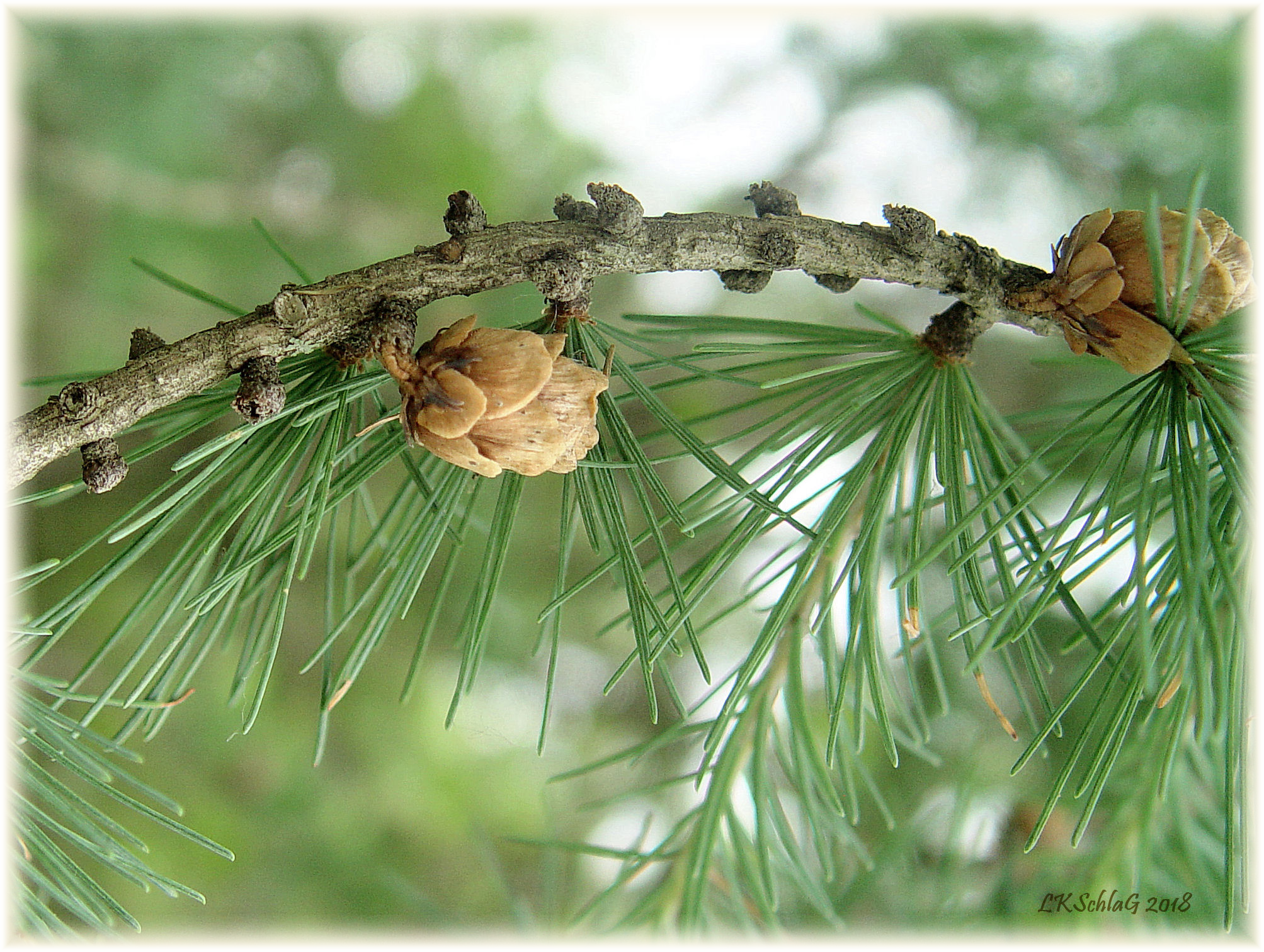 Larix laricina cone and needles