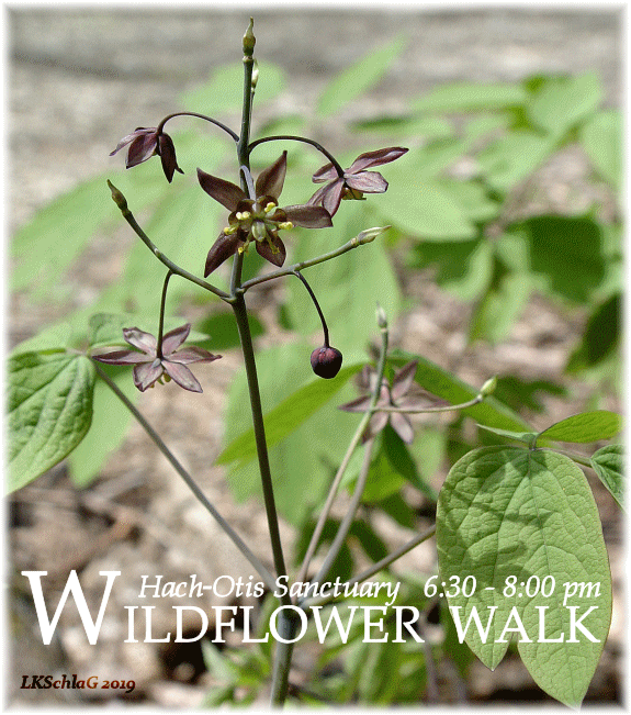 midweek wildflower walk 1 May 2019 at Hach-Otis