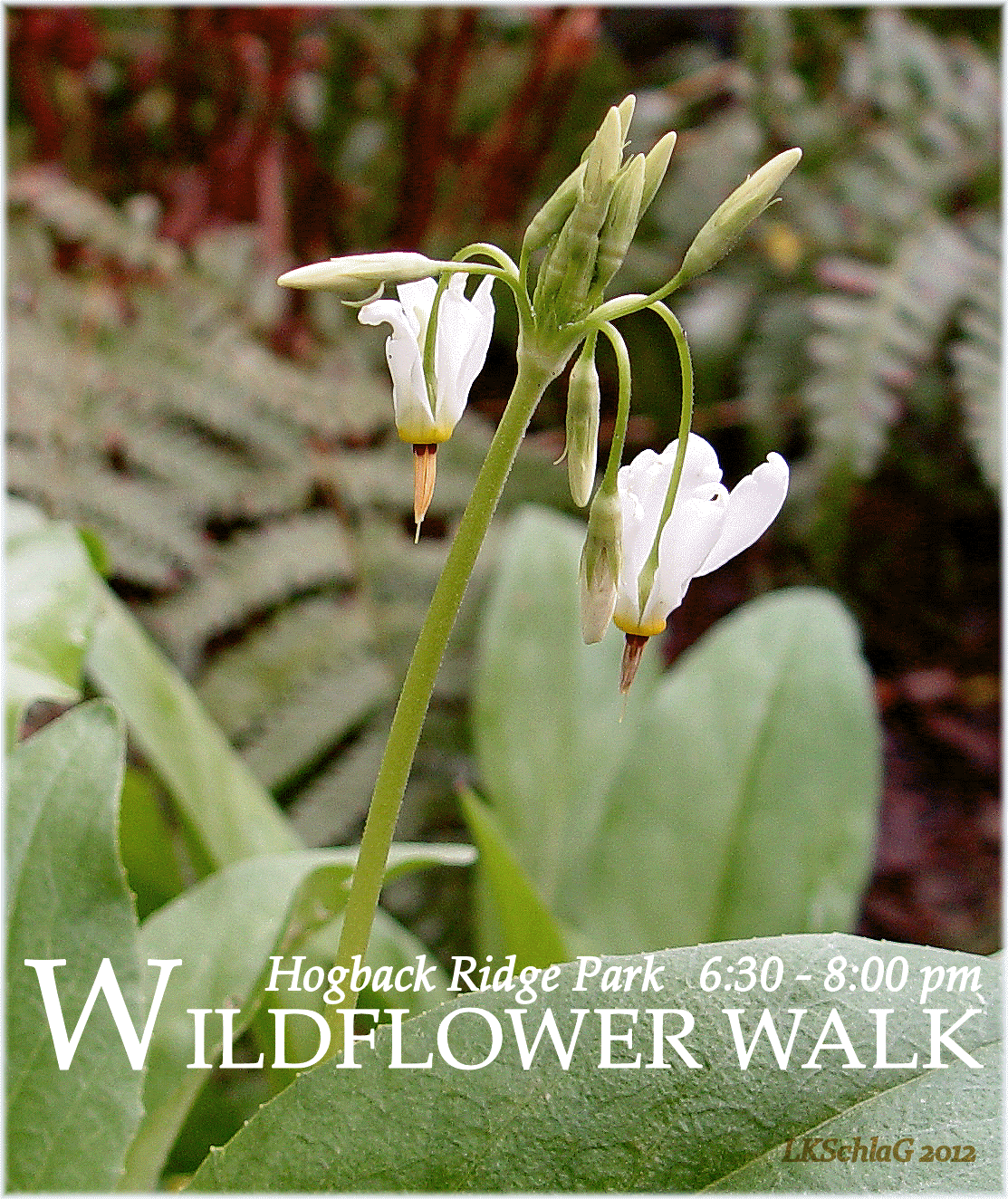midweek wildflower walk 8 May 2019 at Hogback Ridge Park