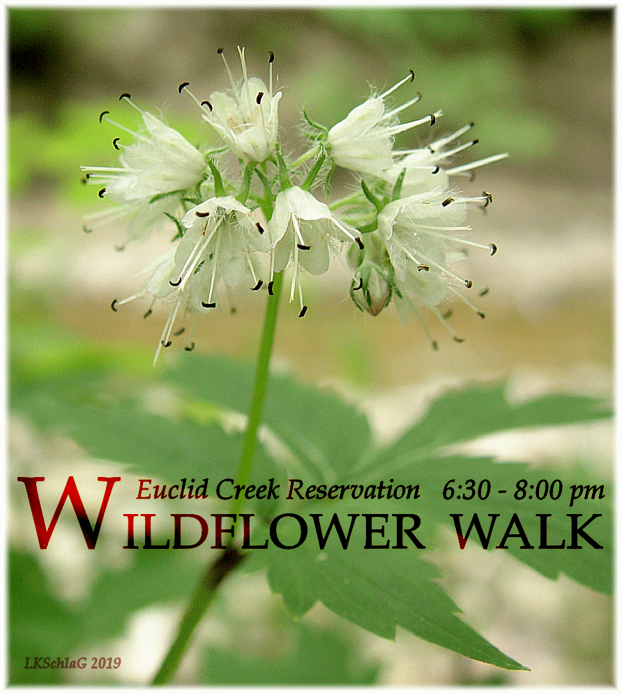 midweek wildflower walk 29 May 2019 at Euclid Creek Reservation