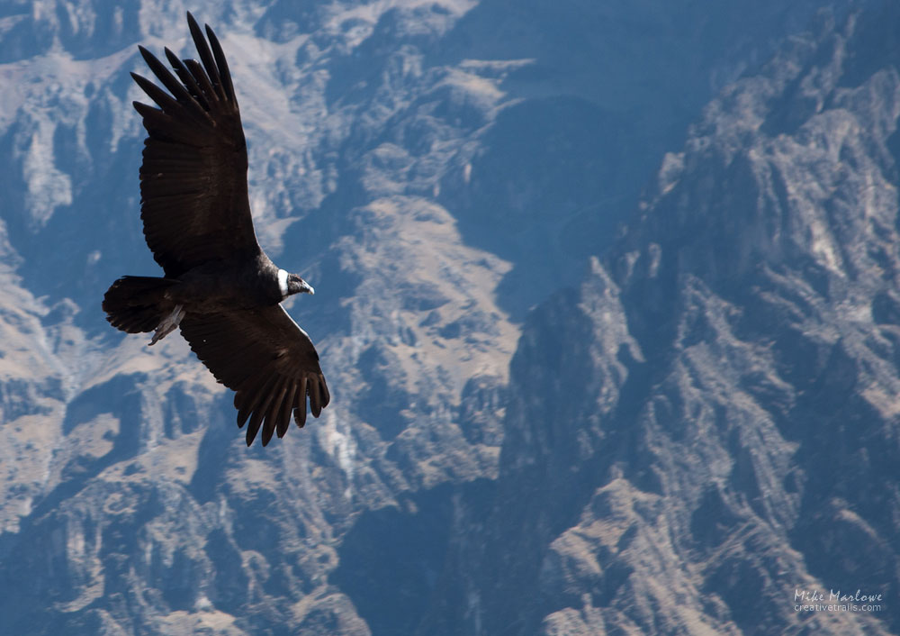 Photo of Condor gliding above the Colca Canyon in Peru. Shot by Mike Marlowe on a Creative Trails Photography tour.