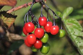 deadly nightshade berries