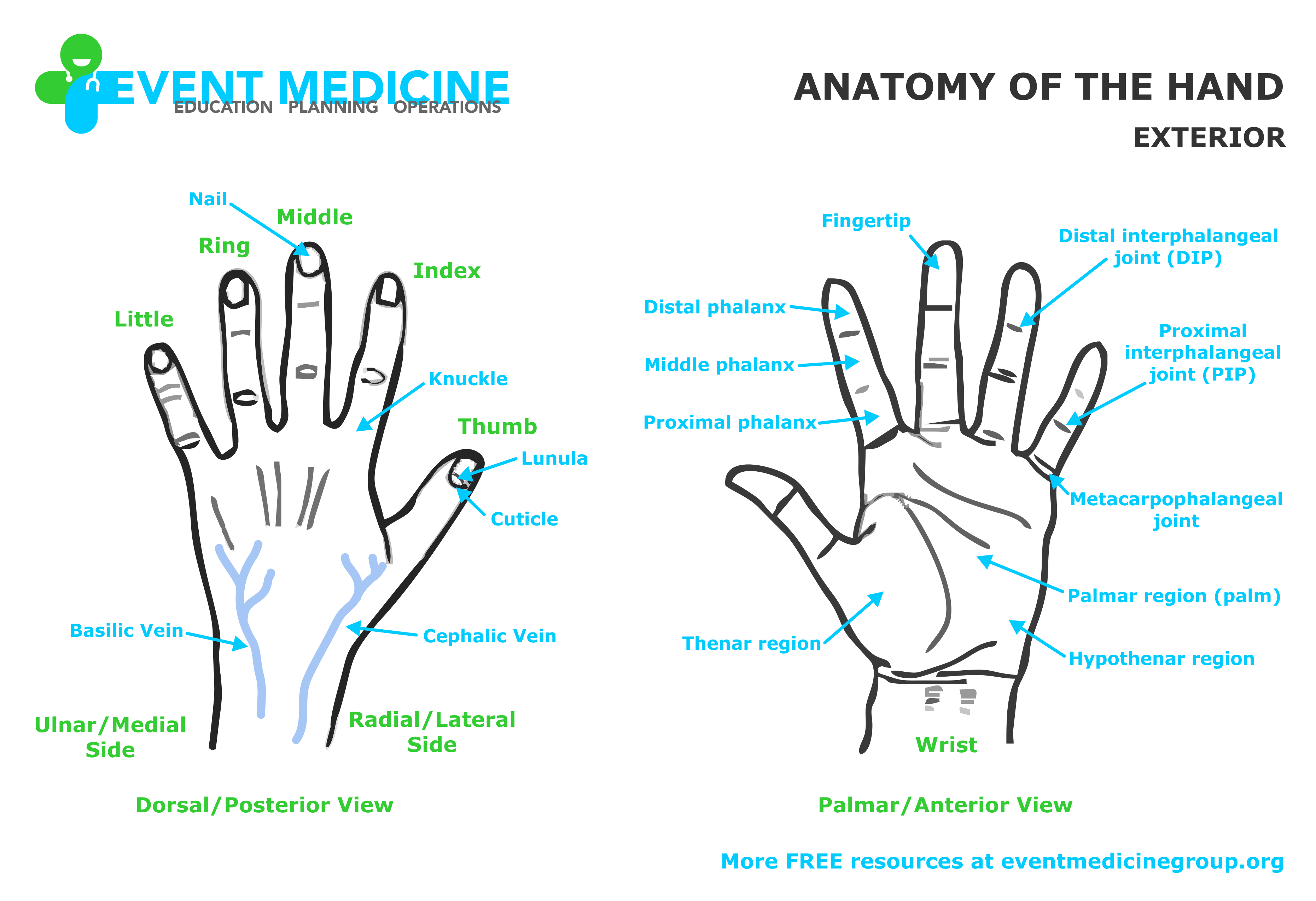 Unique Anatomy Of Hand Frieze Human Anatomy Images